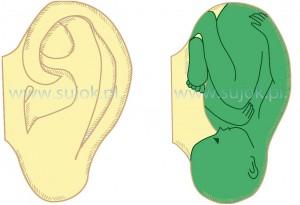 podobienstwo-formy-ucha-do-ludzkiego-embriona1